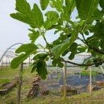 Fichi Ortofloricoltura & Agriturismo Le Moie