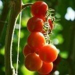 Pomodoro Ciliegino Ortofloricoltura & Agriturismo Le Moie